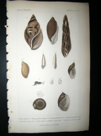 Cuvier C1835 Antique Hand Col Print. Shells #13